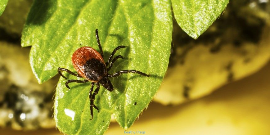 Tick ​​bite: how to remove a tick?